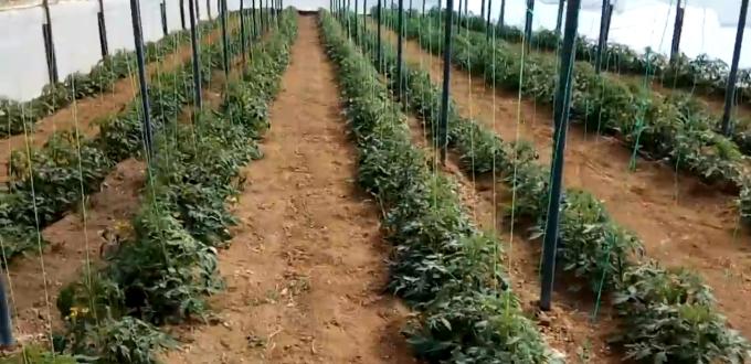 Aglev SI 200 σε καλλιέργιες θερμοκηπίου