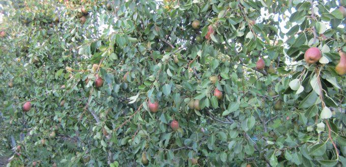 Εφαρμογή ατταπουλγίτη σε καλλιέργεια αχλαδιών