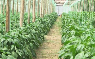 Εφαρμογή Aglev SI σε καλλιέργειες πεπονιού και πιπεριάς