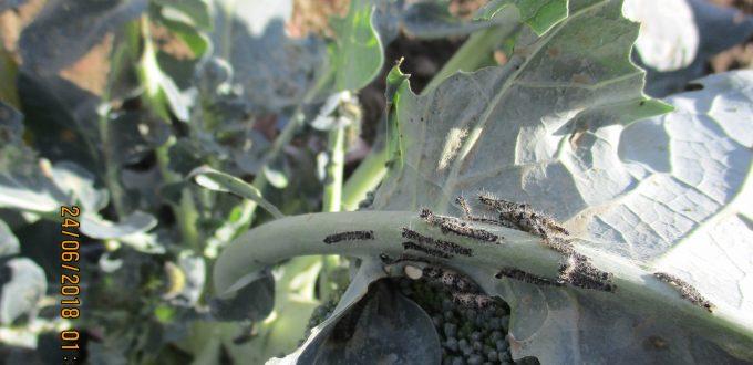 Εφαρμογή  AGLEV SI 300 σε καλλιέργεια μπρόκολου