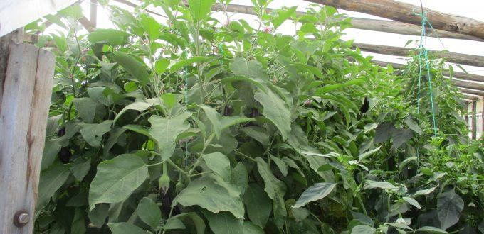 Εφαρμογή AGLEV SI 200 σε μελιτζάνα θερμοκηπίου (Φελώνη-Ξάνθης)