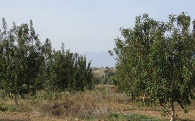 Εφαρμογή AGLEV SI 200 σε αμυγδαλεώνα (Μυρωδάτο – Ξάνθης)