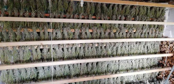 Εφαρμογή AGLEV SI 200 σε καλλιέργεια τσαγιού (Κοτύλη-Ξάνθης)