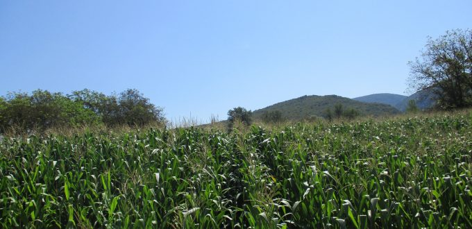Εφαρμογή AGLEV SI 200 σε καλλιέργεια καλαμποκιού (Νεοχώρι-Ξάνθης)