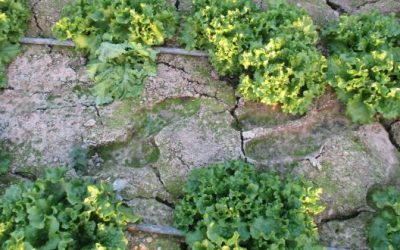 Ατταπουλγίτης σε πλημμυρισμένο θερμοκήπιο (Φελώνη-Ξάνθης)