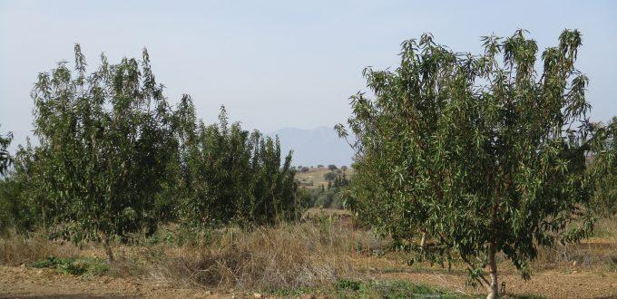 Εφαρμογή AGLEV SI 200, ALBIT plus και PROLIS σε αμυγδαλεώνα (Μυρωδάτο – Ξάνθης)