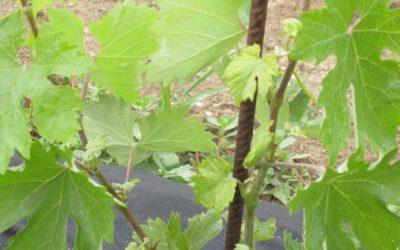 Εφαρμογή AGLEV SI200 και ALBIT Plus σε νέες φυτεύσεις αμπέλου